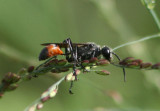 Prionyx parkeri; Thread-waisted Wasp species