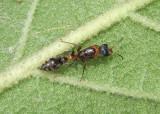 Pseudomyrmex gracilis; Elongate Twig Ant