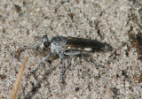 Stichopogon trifasciatus; Three-banded Robber Fly