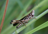 Syrbula admirabilis; Admirable Grasshopper; male