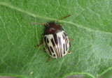 Zygogramma heterothecae; Leaf Beetle species