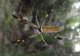 Nephila clavipes; Golden Silk Orbweaver; female