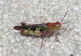 Chortophaga viridifasciata australior; Southern Green-striped Grasshopper