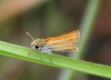 Copaeodes minima; Southern Skipperling