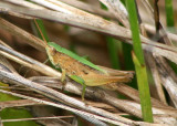 Dichromorpha viridis; Short-winged Green Grasshopper; male