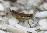 Paroxya clavuliger; Olive-green Swamp Grasshopper