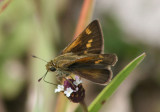 Polites themistocles; Tawny-edged Skipper; female