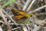 Polites themistocles; Tawny-edged Skipper; male