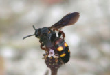Scolia nobilitata; Scoliid Wasp species