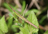 Achurum carinatum; Long-headed Toothpick Grasshopper; female