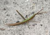 Achurum carinatum; Long-headed Toothpick Grasshopper; male