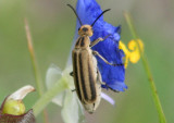 Epicauta strigosa; Blister Beetle species