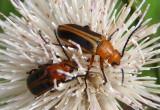 Nemognatha piazata/punctulata complex; Blister Beetle species