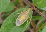 Oebalus pugnax; Rice Stink Bug