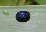 Hemisphaerota cyanea; Palmetto Tortoise Beetle