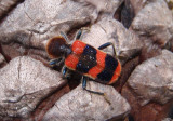 Trichodes apivorus; Checkered Beetle species