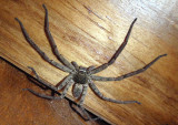 Heteropoda venatoria; Huntsman Spider; female