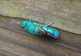 Chrysis smaragdula; Cuckoo Wasp species