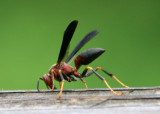 Polistes metricus; Paper Wasp species