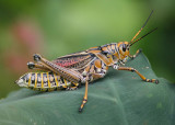 Romalea microptera; Eastern Lubber Grasshopper