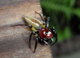 Thiodina sylvana; Jumping Spider species