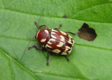 Bassareus brunnipes; Case-bearing Leaf Beetle species