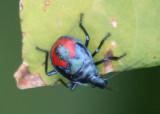 Euthyrhynchus floridanus; Florida Predatory Stink Bug nymph
