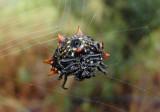 Gasteracantha cancriformis; Spinybacked Orbweaver