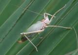 Lea floridensis; Florida True Katydid
