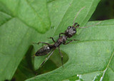 Odontomachus Trap-jaw Ant species