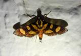 5284 - Syngamia florella; Red-waisted Florella Moth