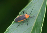 Resthenini Plant Bug species