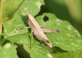 Dichromorpha viridis; Short-winged Green Grasshopper; female nymph
