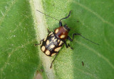 Bassareus clathratus; Case-bearing Leaf Beetle species