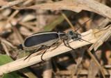 Epicauta funebris; Margined Blister Beetle