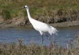 Limpkins and Cranes