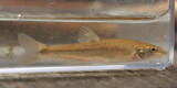 River Chub (Nocomis micropogon)