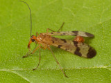 Order Mecoptera - Scorpionflies and allies