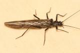 Order Plecoptera - Stoneflies