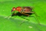 Stilt-legged Fly, Grallipeza sp. (Micropezidae)
