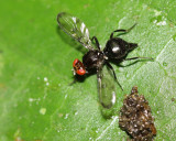 Richardiid Fly, Melanoloma sp. (Richardiidae: Richardiinae)