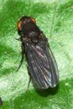 Curtonotum cf. impunctatum (Curtonotidae)