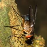 Blow Fly, Mesembrinella sp. (Calliphoridae)