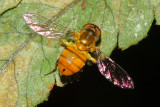 Flower Fly, Toxomerus sp. (Syrphidae: Syrphinae)