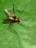 Parasitic Fly, Cholomyia sp. (Tachinidae: Tachininae)