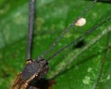 Biting Midge, Forcipomyia (Microhelea) sp. (Ceratopogonidae: Forcipomyiinae)