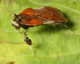 Family Pyralidae - Snout Moths