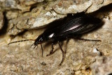 Family Carabidae - Ground Beetles