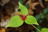 Angiospermae - Flowering Plants