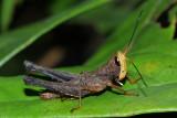 Orthoptera of Ecuador